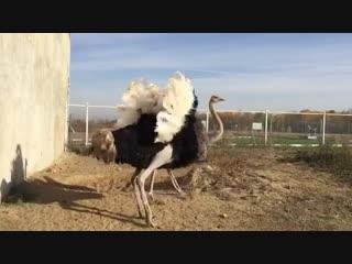 Брачные танцы страусов
