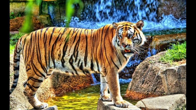 Shere.Khan - The King Tiger Battle
