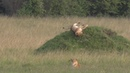 Playful Lion Rolls Down Hill