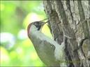 GRÖNGÖLING European Green Woodpecker (Picus viridis) Klipp - 74
