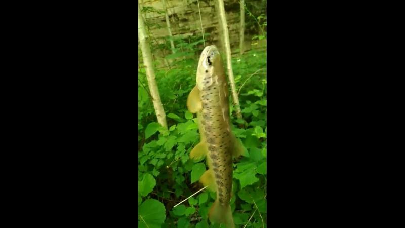 форель , очень вкусная рыба