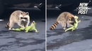 Raccoon battles iguana in gory fight to the death