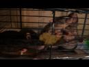 Крысы и пшено