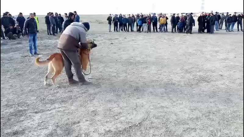 Ankara baladan eko vs konyadan canavar