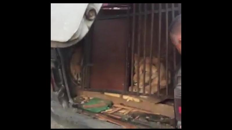 В Челябинске в машине на парковке неделю жила львица