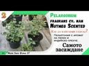 Вкореняване във форми за разсад на Pelargonium fragrans cv. или Nutmeg Scented. Част 2