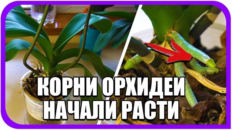 Почему корни у орхидей не растут и не цветет фаленопсис. Why phalaenopsis roots dont grow