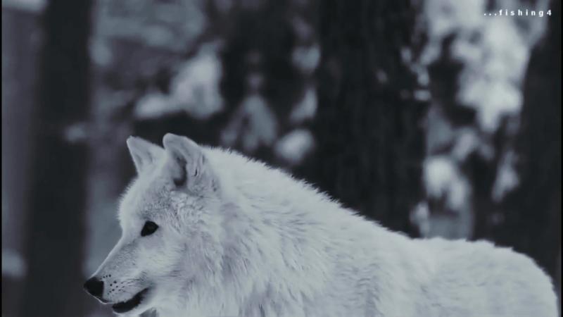вой волчицы