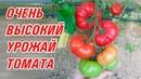 Мега урожайные, мощные томаты SVR 8160 F1, TOM 02411 F1, TOM 02556 F1, TOM 02558 F1 (27-05-2018)