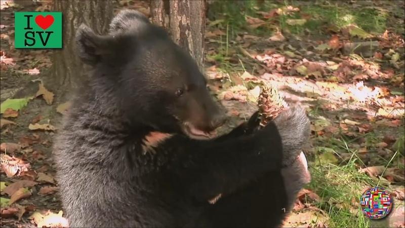The Brown bear Bear eats pine nuts. Urso comer pinhões. Supporter de manger des noix de pin *SV HD*