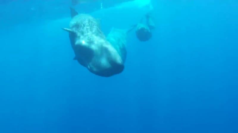Кашалоты подружились с дельфином инвалидом
