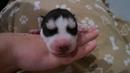 Щенок сибирский хаски чёрно белый Siberian Husky puppy black white
