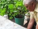Пересадка перевалка взрослого инжира в ведро для плодоношения