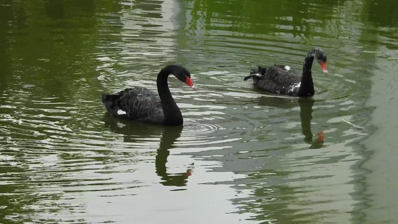 Черные лебеди г. Ярославль
