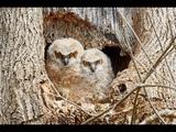 Baby owls Omg that's horrifying barn owl - great horned owl