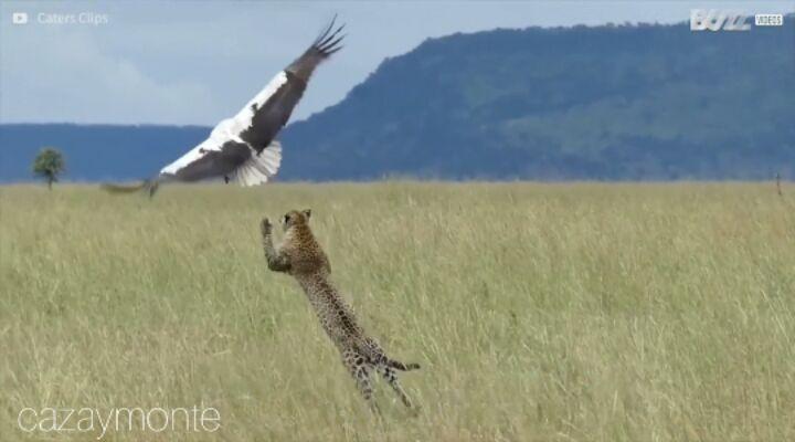 """@cazaymonte on Instagram """"¡Increíble! ¿Os esperabais que hubiera un leopardo acechando a esta cigüeña Como diempre venimos diciendo, la naturalez..."""