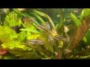АкваМир -ПЕЛЬВИКАХРОМИС ПУЛЬХЕР (Pelvicachromis pulcher) ИЛИ РЫБКА ПОПУГАЙЧИК