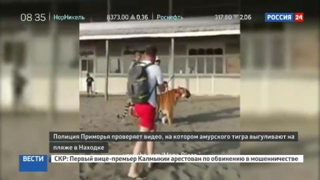 Новости на Россия 24 • В Сети появилось видео как тигра выгуливают на поводке