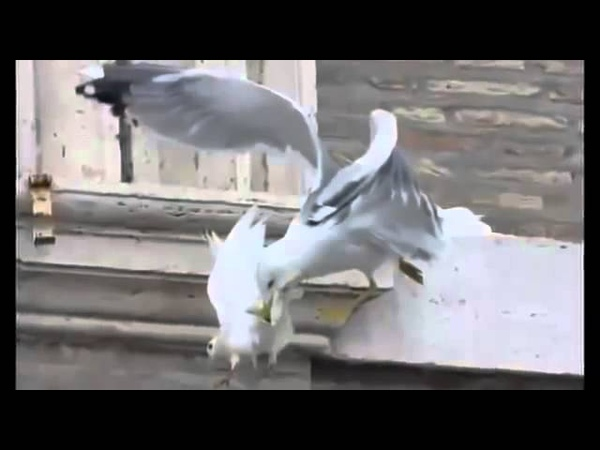 Чайка и ворона заклевали папских голубей, символизирующих мирную Украину