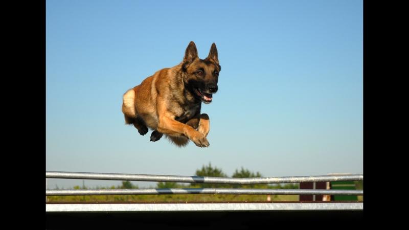 Малинуа - Бельгийская овчарка - Мастер прыжка./Malinois - Belgian shepherd - Master of the jump - Le maitre du saut.