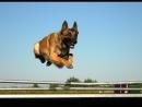 Малинуа Бельгийская овчарка Мастер прыжка Malinois Belgian shepherd Master of the jump Le maitre du saut