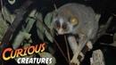 Grey Slender Loris Curious Creatures