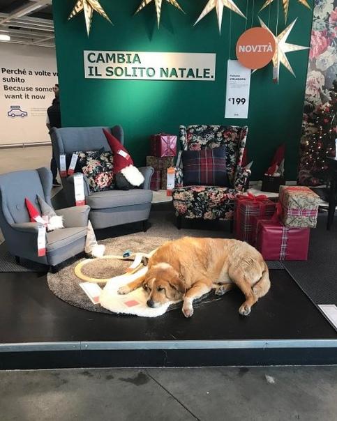 Магазин IKEA в Катании открыл свои двери бездомным собакам, чтобы защитить их от холода. Это вызвало восхищённую реакцию у покупателей. Сотрудники этого магазина IKEA в Катании, Италия, пошли