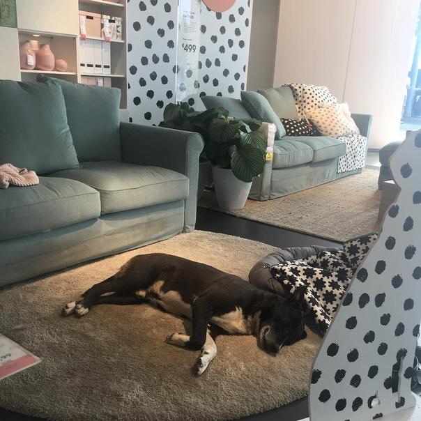 Магазин IKEA в Катании открыл свои двери бездомным собакам, чтобы защитить их от холода. Это вызвало восхищённую реакцию у покупателей.