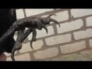 Как отличить черную ворону от грача
