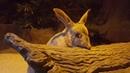 Кроличий бандикут (лат. Macrotis lagotis) Australian Bilby