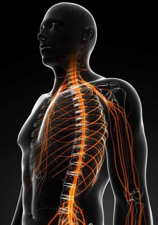 Нервы действуют как путь для электрохимических импульсов.