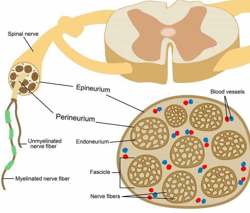 Нервное сплетение связывает спинномозговые нервы с определенными участками тела.