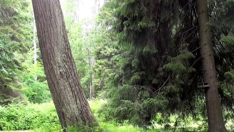 4 часа! Живой лес Наполненный звуками природы Пение лесных птиц