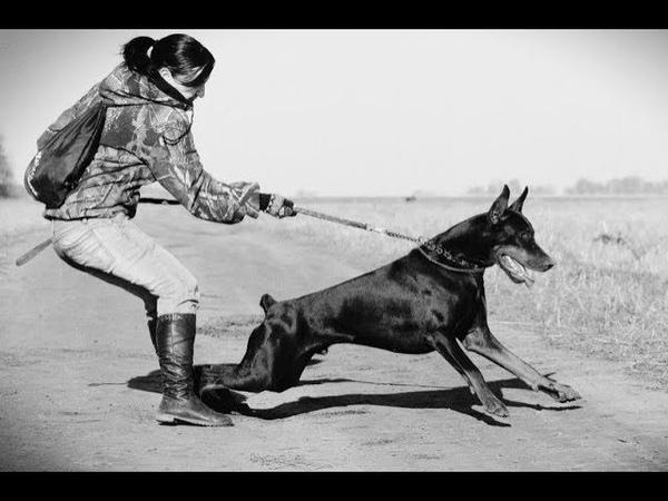 Собака тянет поводок. Как отучить собаку тянуть поводок Dog pulls on the Leash!