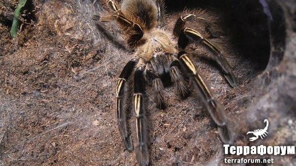 Ephebopus-murinus