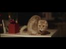 002 Шотландская вислоухая кошка Скоттиш фолд Мая 2017
