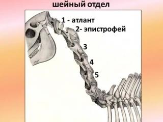 осевой скелет животных