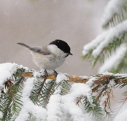 Жизнь зверей и птиц зимой Каждый приход зимы своеобразен. Иногда первый снег выпадает задолго до ее наступления. Сильные снегопады изредка наблюдаются в конце сентября, когда деревья еще только