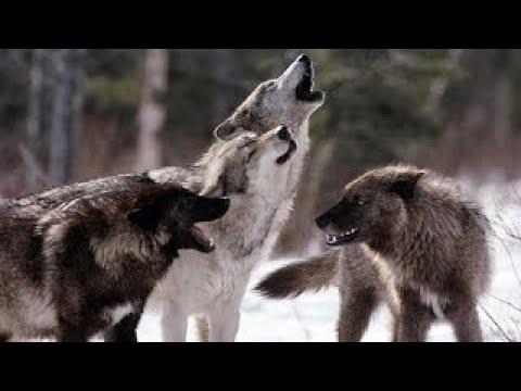 Животные Людоеды - Волки 2 - NatGeoWild