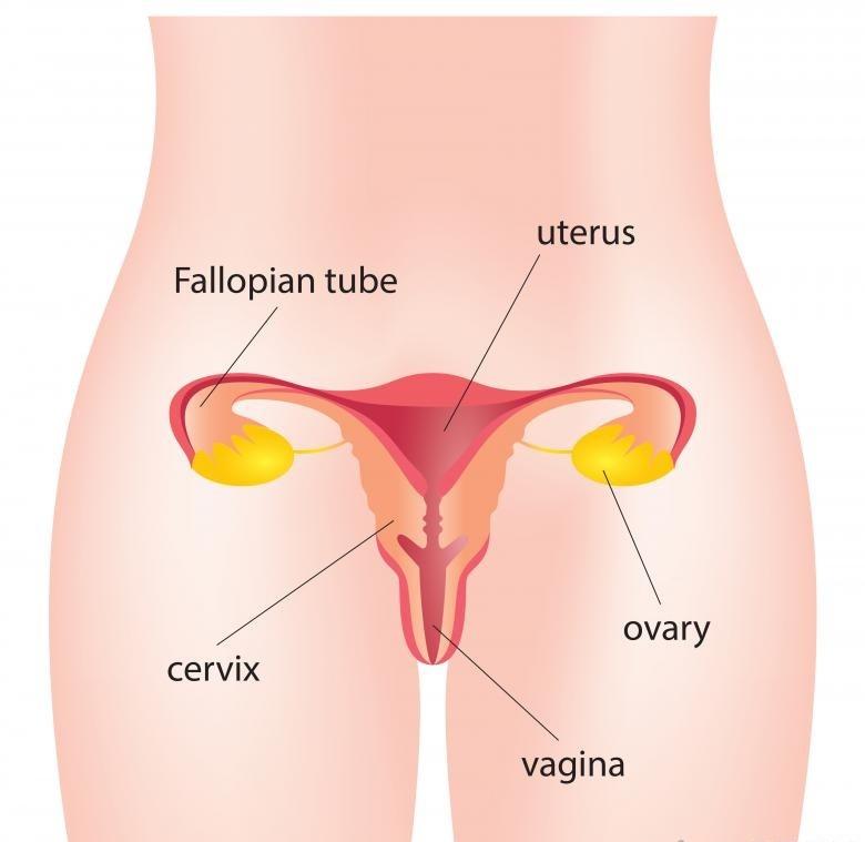 Матка является центральным аспектом женской репродуктивной системы.