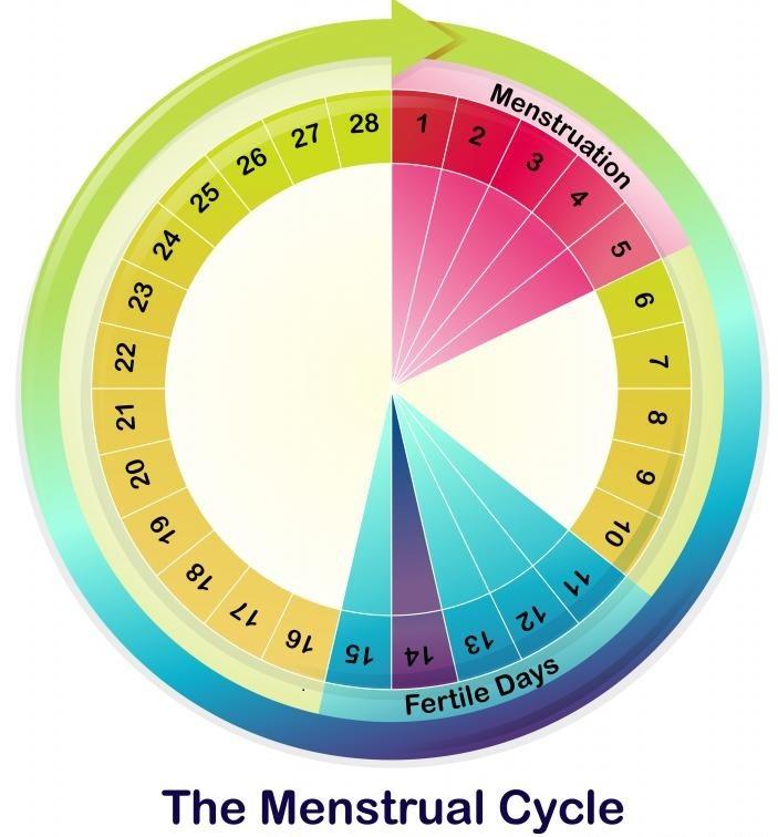 Овуляция и менструальный цикл являются важными функциями женской репродуктивной системы.