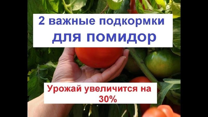 Как увеличить урожай помидор подкормка помидор лечение томата