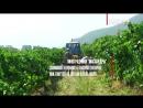 Сбор урожая на виноградниках в Крыму