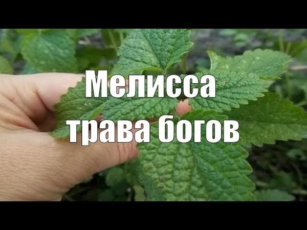 Мелисса – растение богов. Чем полезна мелисса?