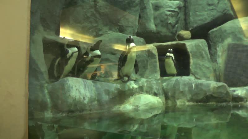 00026 Ещё пингвины Это третий вид пингвинов за сегодняшний день Самые грустные пингвины