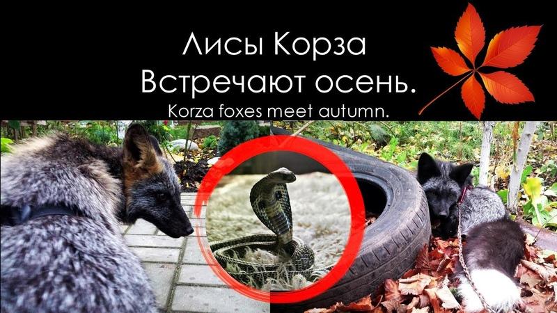 Лисы встречают осень 🍂🐺 Silver Fox Cross Fox 🦊 Лисы на прогулке 🐾