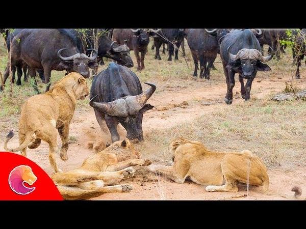 Мать-буйвол по дороге обратно к Лео, чтобы убежать. Trâu mẹ cùng đường bật lại Sư Tử để thoát thân