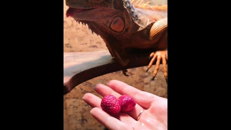 Игуана Буч - кушает клубнику