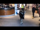 Austria Due to the constant heat in Tyrol there was an unexpected visit by a wild goat in an Intersport Shop who wanted to coo