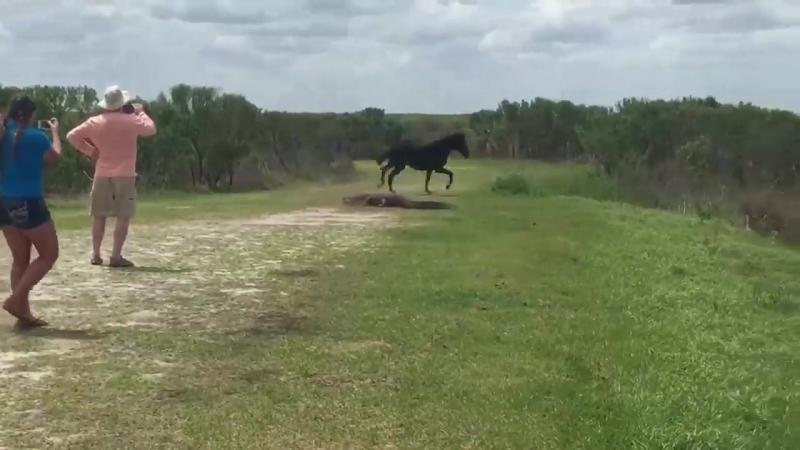 Лошадь отпиздила аллигатора за нихуя!